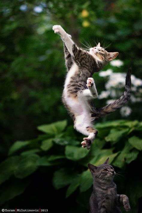 How To Stop A Cat From Jumping On Furniture by A Cat Can Jump Higher Than A