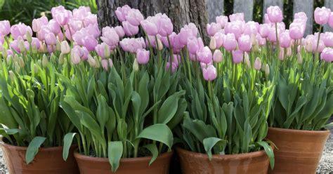 blumenzwiebeln im topf 252 berwintern mein sch 246 ner garten - Blumenzwiebeln Im Topf Pflanzen