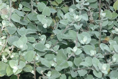 licorice plant www pixshark com images galleries with a bite
