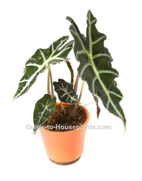 elephant s ear alocasia x amazonica pictures care tips