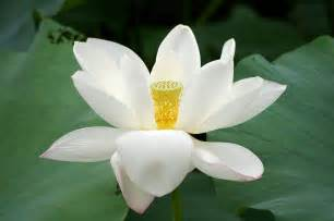 White Lotus Flower Flower Picture Lotus Flower 7