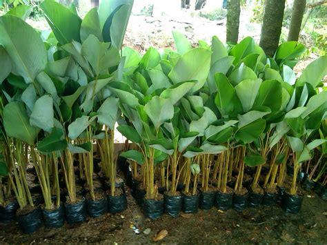 jual bibit pisang barangan wwwstewartflowersnet