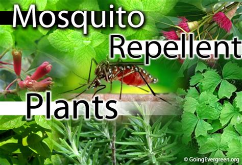 mosquito repellent plants how to get rid of mosquitoes in house plants house plan 2017