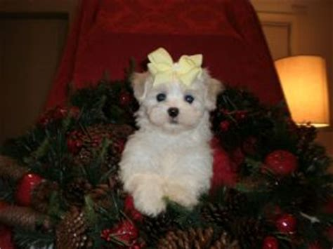 maltese puppies for sale in alabama maltese puppies in alabama