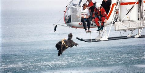 dogs saving lives newfoundland dogs jump out helicopters to save lives