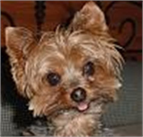 why do yorkies why do yorkies stick their tongues out yorkietalk forums terrier