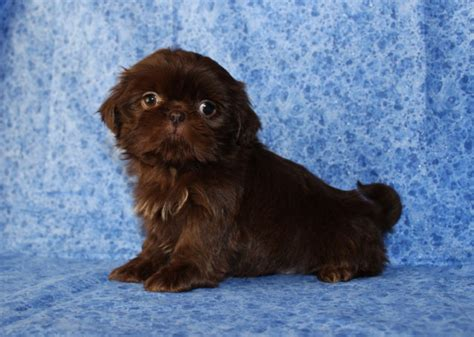liver brown shih tzu shih tzu colors maple pups michigan akc shih tzu s quality home raised