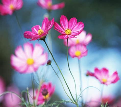 Blume Mit Rosa Blüten by Die 51 Besten Blumen Sch 246 Ne Hintergrundbilder F 252 R Pc