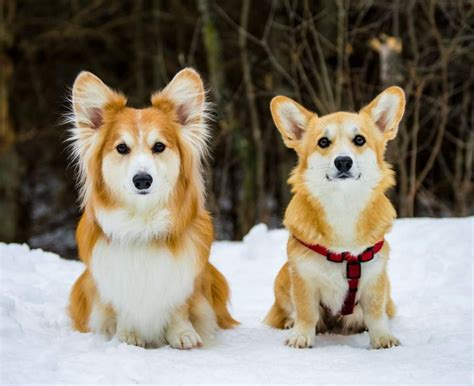 fluffy corgi puppies corgi puppies in snow puppy pictures