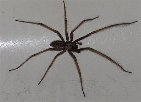 giant house spider oregon house spider oregon images