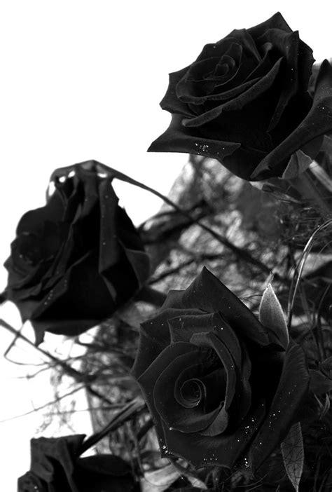 imagenes de rosas oscuras mejores 97 im 225 genes de rosas negras en pinterest rosas