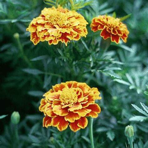 Obat Cuci Mata Kuning artomega 6 jenis bunga dan khasiatnya dalam kesehatan