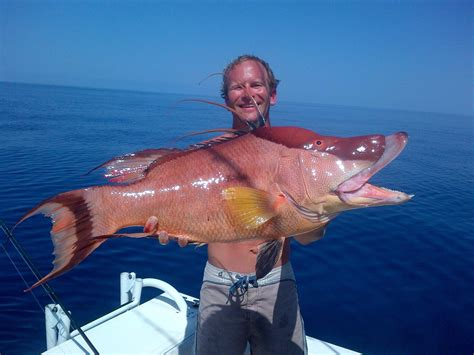 hogfish images bringing home the bacon hogfish nabbed by jason