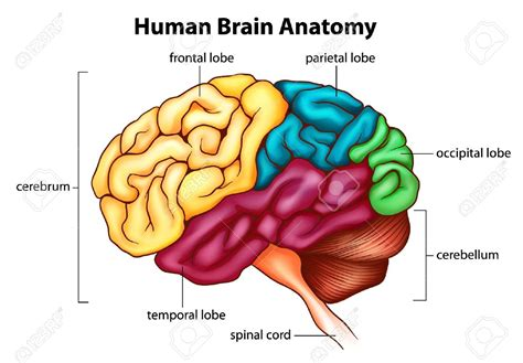 diagram of a brain human anatomy diagram cerebellum human brain anatomy