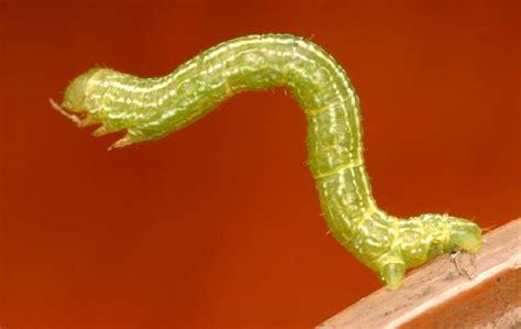 inch worm thin green inchworm the backyard arthropod project