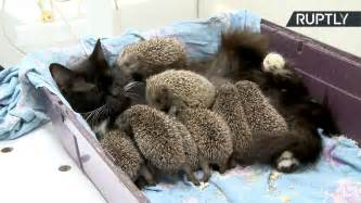 Blind Cat Adoption Cat Adopts Eight Baby Hedgehogs Aol Uk Travel