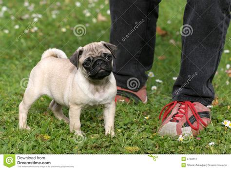 pug royalty pug royalty free stock photography image 3748117