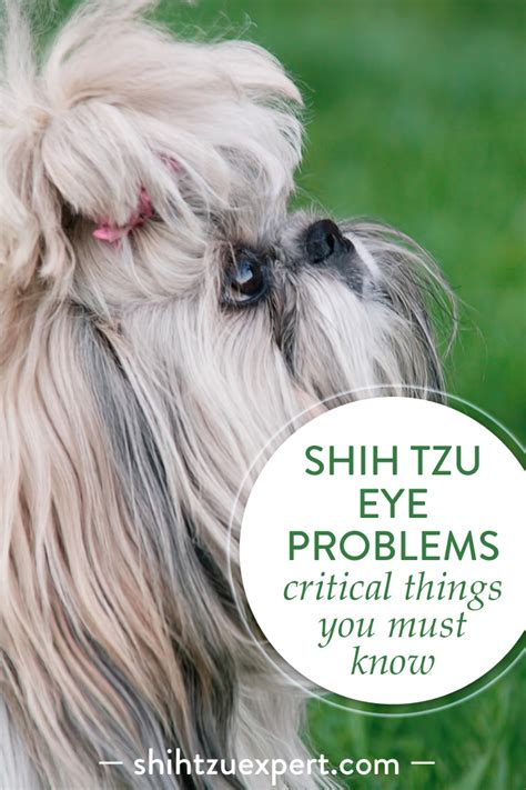 shih tzu common health problems shih tzu eye problems what you need to before adopting your pet
