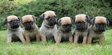 what is a of pugs called fourteen facts about pugs you need to vivamune