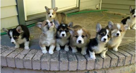corgi puppies nyc corgi new york breeder calista corgi friend new york york and