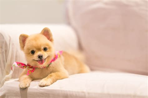how to house a pomeranian how to groom a pomeranian canna pet 174