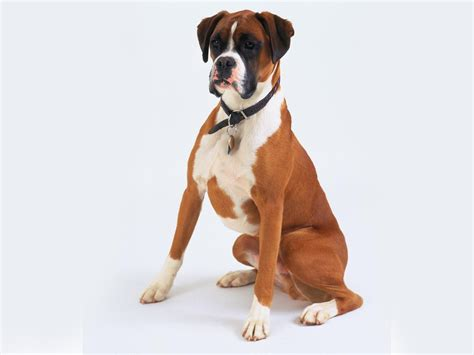 images of boxer puppies boxer computer wallpapers desktop backgrounds 1600x1200 id 355644