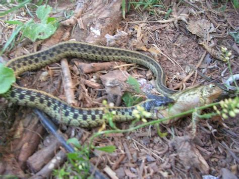 Garden Snake Poison 17 Best Ideas About Poisonous Snakes On Pics