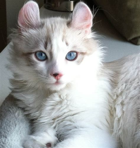 American Curl Cat : Type, Personality and Pictures