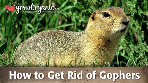 how to get rid of gophers in your backyard how to get rid of gophers doovi
