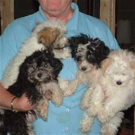 havanese rescue chicago halo havanese league organization animal rescue shelters pilsen chicago