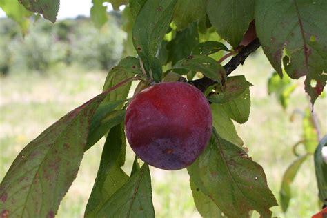 ornamental plum tree fruit plums
