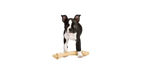 when do dogs stop teething do ears droop when teething popsugar pets