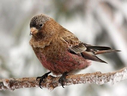 brown capped rosy finch identification all about birds
