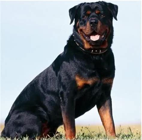 best rottweiler names names for rottweiler dogs puppies breeds picture