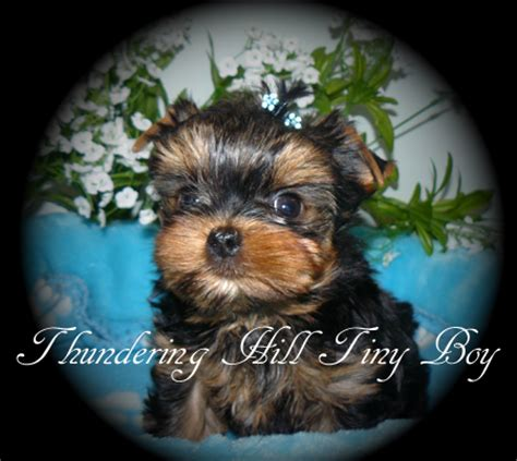 yorkie breeders in canada yorkie puppies for sale b c canada teacup yorkies for sale