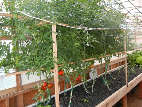 Vertical Gardening Tomatoes Vertical Growing In Aquaponics