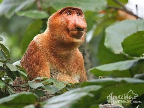 klias wildlife river cruise proboscis monkey fireflies