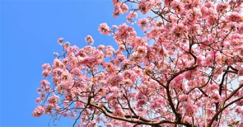 pruning flowering cherry trees ehow uk