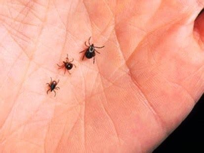 Ticks In Backyard by Tick In Southern New Hshire Mosquito Squad Of