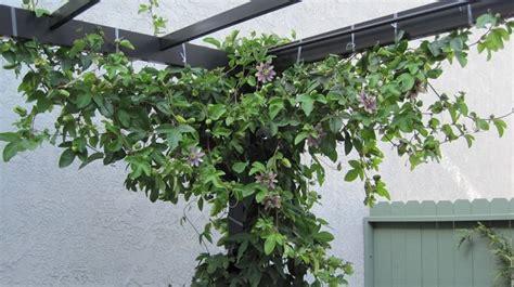 passiflora in vaso passiflora ricante ricanti passiflora ricante