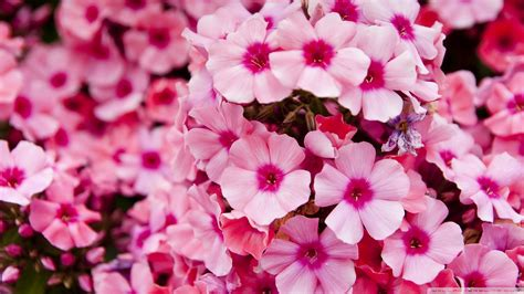 Pink Flower Garden Pink Flower Garden High Quality Wallpaper 1600 X 900 Flower Wallpaper