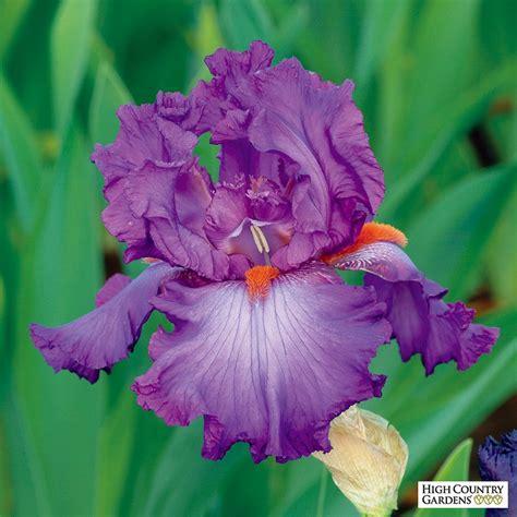 grow light bulbs for regular ls bearded iris imperial iris germanica bulbs