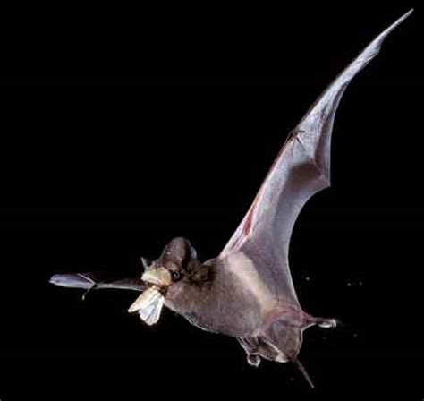 management of much maligned often misunderstood bats