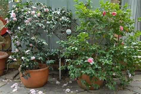camelie in vaso coltivare camelia piante da giardino come coltivare la