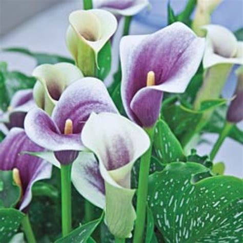 calla lilly pots i love calla lillies but they are so 32 best calla lily love images on pinterest calla lilies