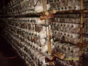 membuat rumah jamur tiram cara budidaya jamur tiram pada lahan terbatas caraka