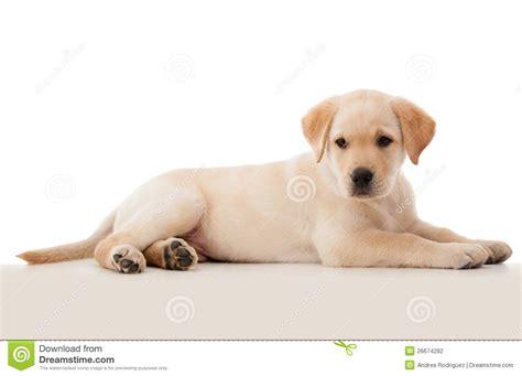 puppy laying beautiful puppy laying stock photography image 26674282