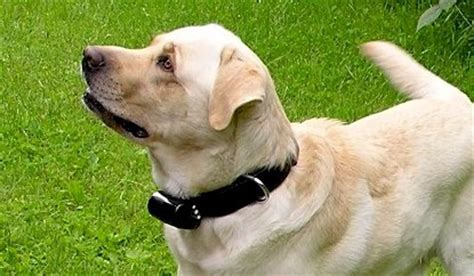 how to your with shock collar 5 tips to help protect your pet from the sexual advances of rugby league players