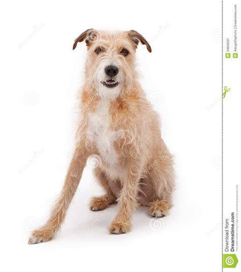 scruffy breeds mixed breed large scruffy stock image image 24656031