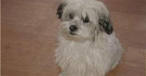 shih tzu mating shih tzu ehow uk